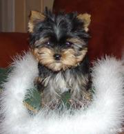 CUTE AND ADORABLE YORKIES PUPPIES